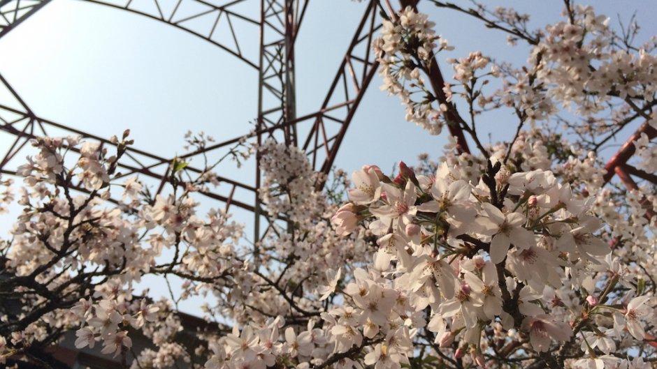 阿里山遊樂區內有許多賞櫻景點/May