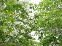 桃園客家桐花祭:浪漫桐花五月雪 探訪古道慢遊客庄
