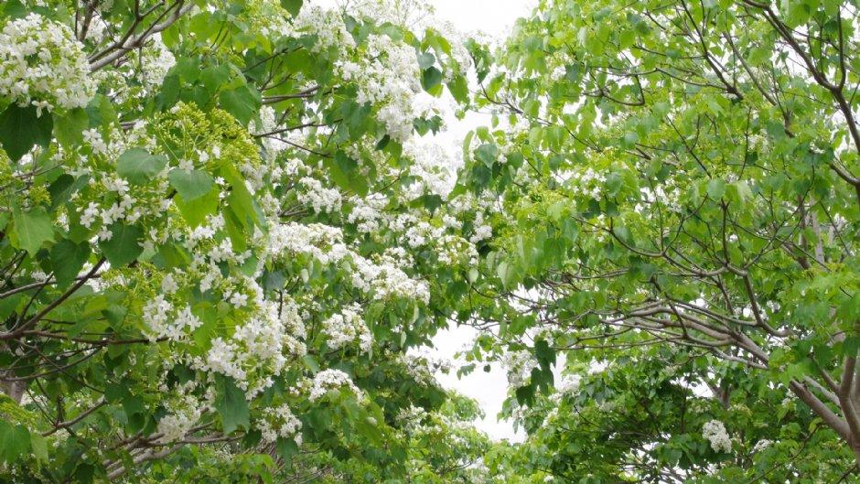 盛開的桐花將山坡染成雪白一片/Eva隨手拍