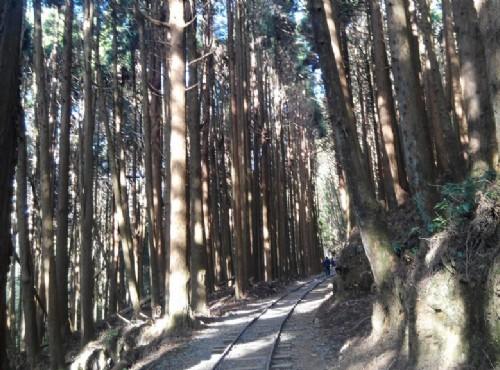 高聳參天的杉木和舊鐵軌是這裡一大特色/Lu