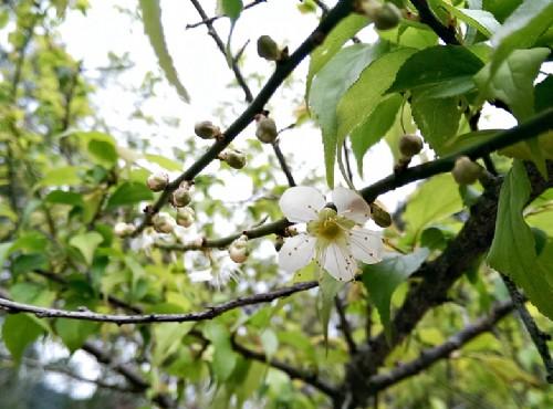 賞花必遊-桃園梅花、櫻花和彩色海芋季