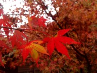 秋冬賞楓葉、落羽松林  6大熱點拍照超仙氣